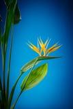 Fleur de Strelitzia Photographie stock libre de droits