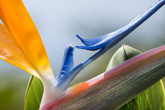 Fleur de Strelitzia Photo stock