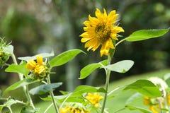 Fleur de Sun photos libres de droits