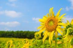 Fleur de Sun Photo stock