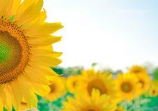 Fleur de Sun Images libres de droits