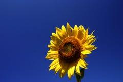 Fleur de Sun Photographie stock libre de droits