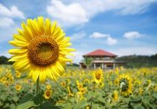 Fleur de Sun Photo libre de droits