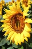 Fleur de Sun Images stock