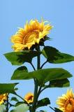 Fleur de Sun Image stock