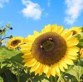Fleur de Sun avec l'abeille fonctionnante dure Image stock