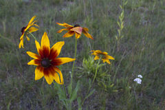 Fleur de Sun dans le pré Image stock