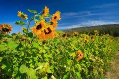 Fleur de Sun sur le jardin Image libre de droits