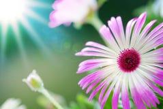 Fleur de Sunny Close Up Of Daisy sur le pré de fleur Image libre de droits