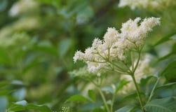 Fleur de sureau de floraison Photo libre de droits