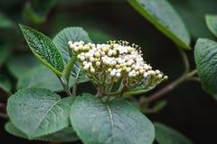 Fleur de sureau fraîche fleurissant dans le jardin Nigra de Sambucus ; (Aîné noir ; Baie de sureau noire européenne Images libres de droits
