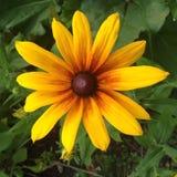 Fleur de Susan observée par noir photos stock
