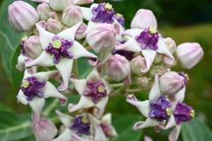 Fleur de tête (gigantea de Calotropis) Image stock