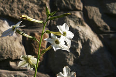Fleur de tabac Image stock