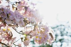 Fleur de Tabebuia avec un effet de lever de soleil Photographie stock