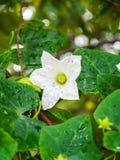 Fleur de Tael Images stock
