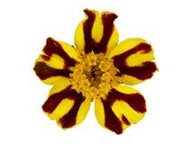 Fleur de Tagetes Photos libres de droits
