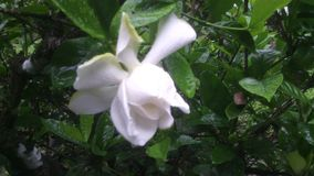 Fleur de Tahiti imagens de stock royalty free