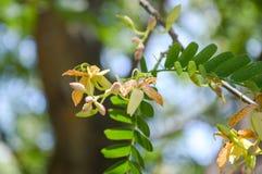 fleur de tamarinier Photo stock