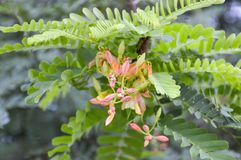 fleur de tamarinier Photos stock