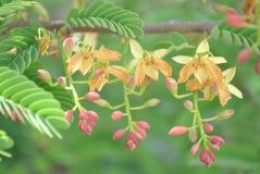 fleur de tamarinier Images stock
