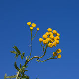 Fleur de Tansy sur le ciel bleu Photographie stock