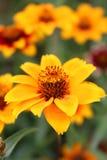 Fleur de tapis de Perse de Zinnia Photographie stock