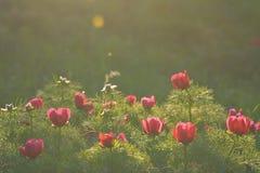 Fleur de tenuifolia de Paeonia connue également comme biebersteiniana de Paeonia ou carthalinica de Paeonia Photographie stock