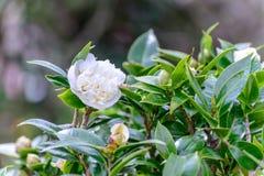Fleur de thé dans la plantation Image libre de droits