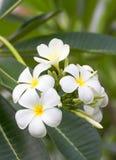 Fleur de thom de LAN Photo libre de droits