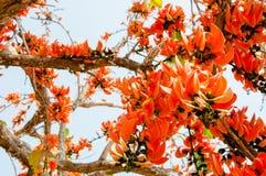 Fleur de Thongkown Photo libre de droits