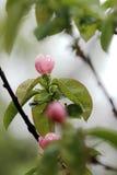 Fleur de Thouin Photo libre de droits