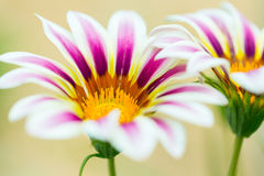 Fleur de Tiger Striped Gazania Photographie stock