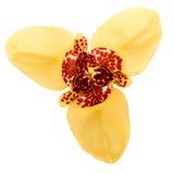 Fleur de Tigridia photographie stock libre de droits