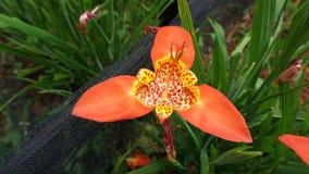Fleur de Tigridia image stock