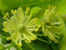 Fleur de tilleul Photos stock