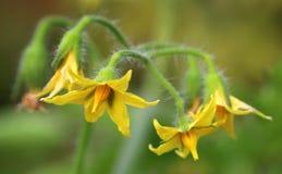 Fleur de tomate Photos libres de droits