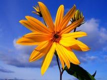 Fleur de Topinambour Photo stock