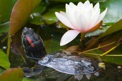 Fleur de tortue et de lotus Photographie stock libre de droits