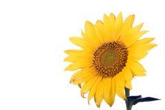 Fleur de tournesol Photographie stock libre de droits