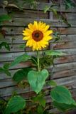 fleur de tournesol Images libres de droits