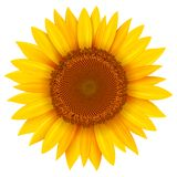 Fleur de tournesol d'isolement illustration de vecteur