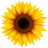 Fleur de tournesol d'isolement illustration de vecteur