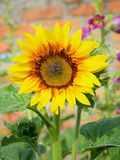 Fleur de tournesol sur le fond vert Photos stock