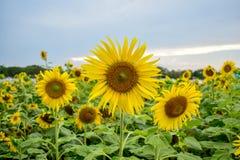 Fleur de tournesols en parc Image stock