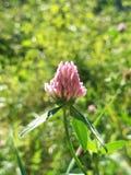 Fleur de trèfle Image stock