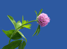 fleur de trèfle Photos stock