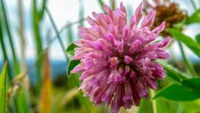 Fleur de trèfle avec quelques gouttelettes de rosée image libre de droits