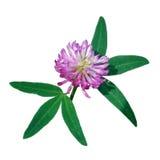 fleur de trèfle sur le fond blanc Image stock
