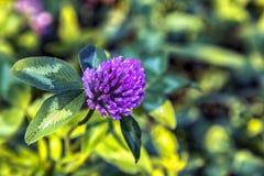 Fleur de trèfle sur le fond d'herbe images libres de droits